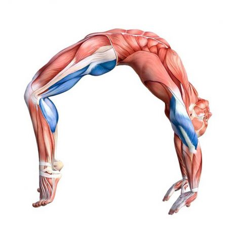 Muscle Stretching